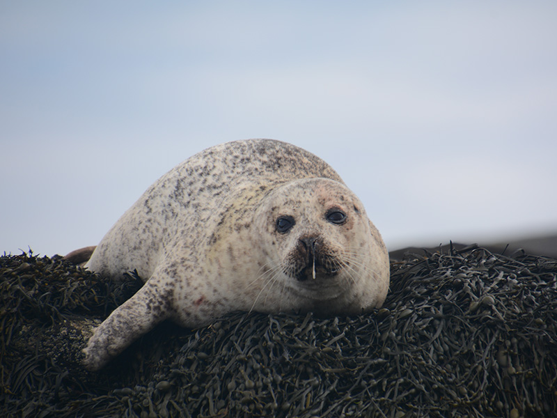Seehund Ufer Mco Sailing